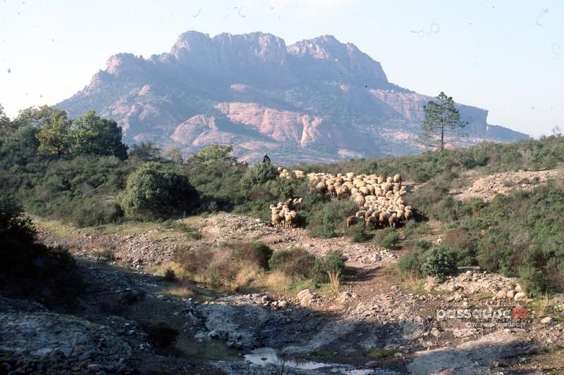 Moutons rocher de Roquebrune; sheep over the Roquebrune rock
