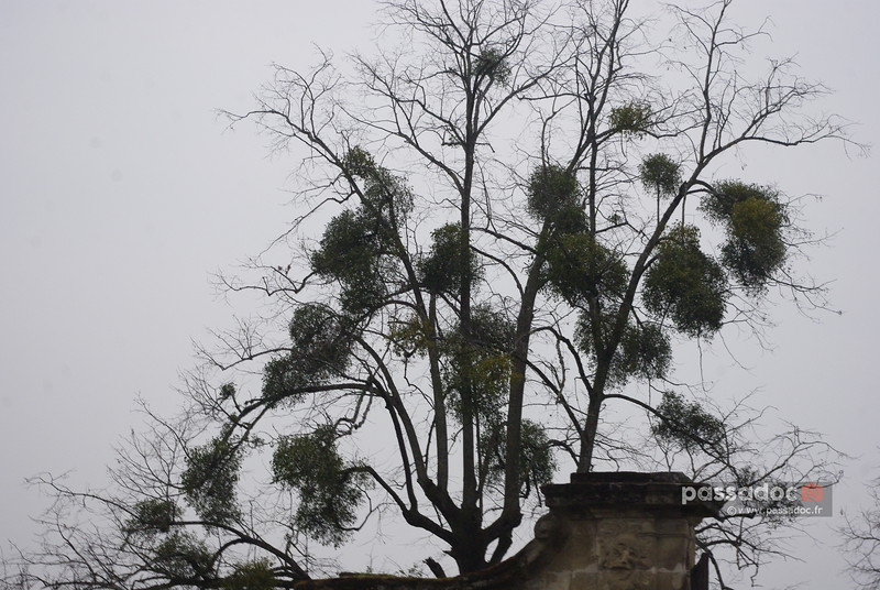Branches d'arbre avec du gui; mistletoe in tree branches