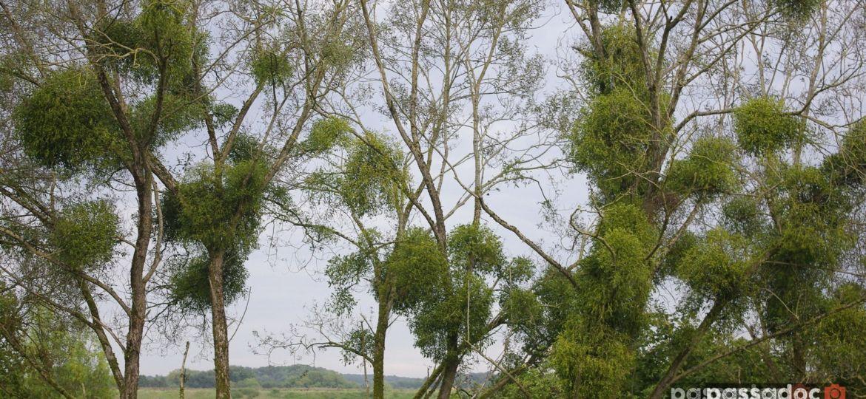 Le gui colonise les arbres dans le Loiret - végétation tradition an neuf nous an saint Sylvestre - photo André Abbe.jpg