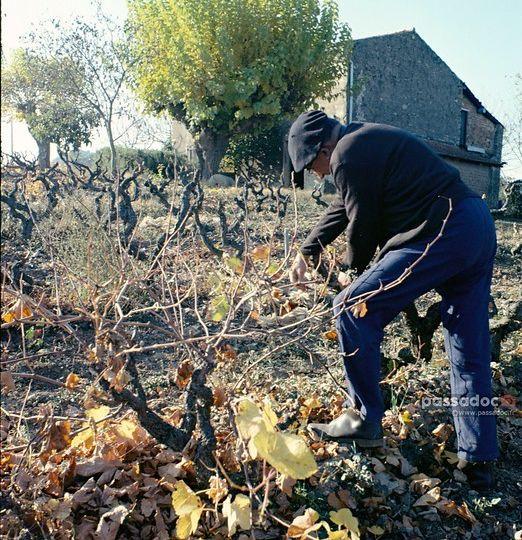 Taille vigne Provence Roquebrune sur Argens Var 1978 - photo André Abbe
