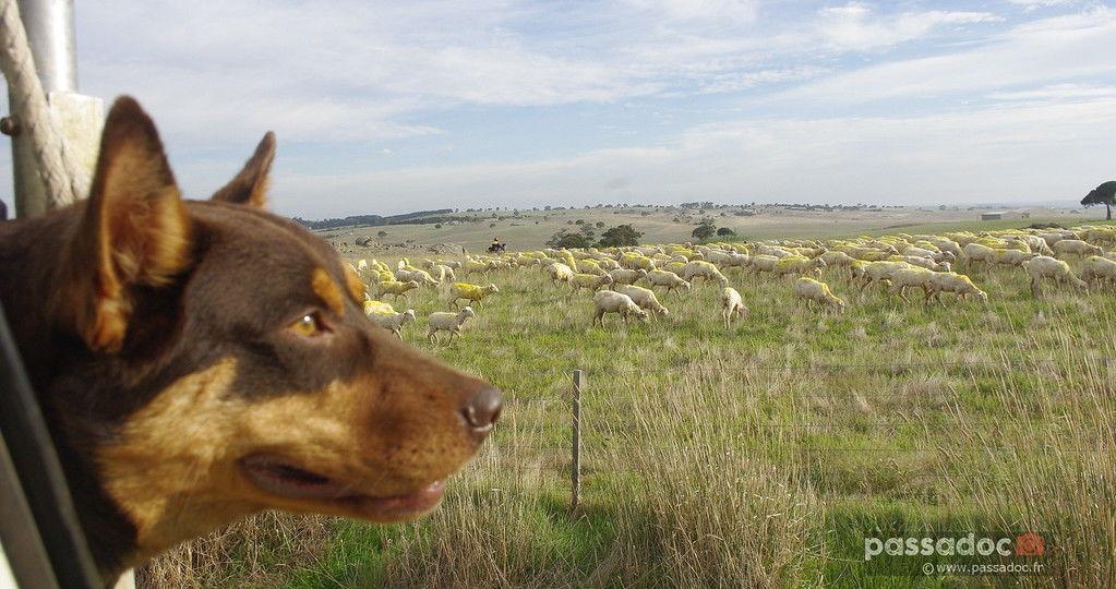 Un-chien-de-berger-regarde-les-moutons-par-la-fenêtre-du-4X4-SUV-photo-André-Abbe
