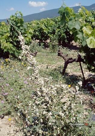 caragouille rosée escargot vigne - photo André Abbe
